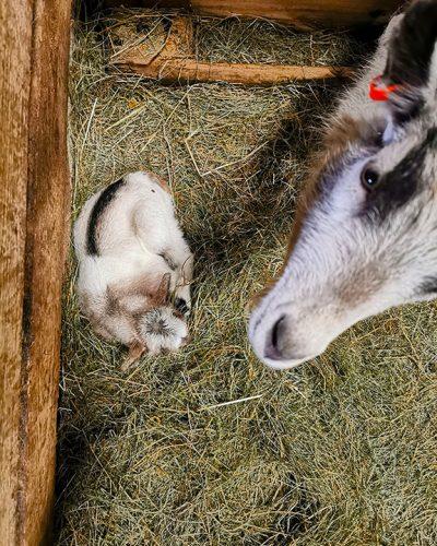 mosi-goat