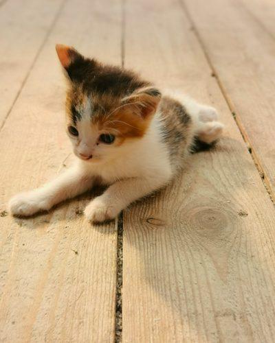 whitw-kitten